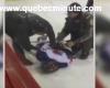 En Quebec no se andan con bromas: escupe al árbitro y acaba esposado